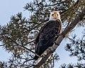 Same Eagle, New Perch (32560455872).jpg