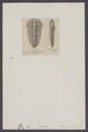 Sao hirsuta - - Print - Iconographia Zoologica - Special Collections University of Amsterdam - UBAINV0274 006 04 0011.tif