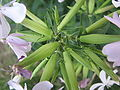 Saponaria officinalis13.jpg