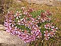 Saponaria pumila04.jpg