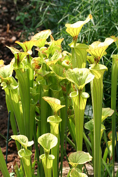 Ficheiro:Sarracenia Flava JPG01.jpg