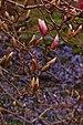 Saucer Magnolia x soulangeana Buds.JPG