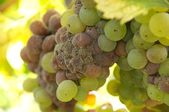 Chenin blanc - Chenin blanc grapes, like these Sauvignon blanc grapes pictured, are highly sensitive to developing noble rot which produces a unique style of wine.