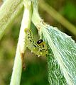 Sawfly larva - Flickr - gailhampshire.jpg