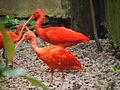 Scarlet Ibis Malaysia.jpg
