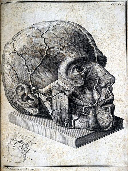 File:Scarpa face anatomy.jpg