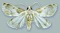 Schacontia chanesalis male - ZooKeys-291-027-g001-2.jpeg