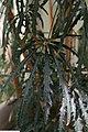 Schefflera elegantissima 4zz.jpg