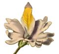 Schizanthus grahamii-cropt.png