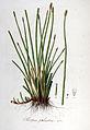 Scirpus palustris — Flora Batava — Volume v6.jpg