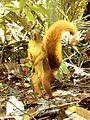 Sciurus spadiceus (Peru).jpg