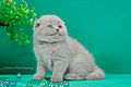 Scottish fold- straight 08.JPG
