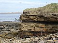 Sea Cliff Craigielaw Point Aberlady - geograph.org.uk - 11031.jpg