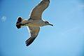 Seagull (9521512321).jpg