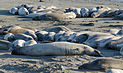 Seals at Piedras Blancas elephant seal rookery 2013 02.jpg