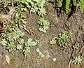 Sedum cepaea plant (26).jpg