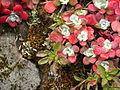 Sedum spathulifolium (1).jpg