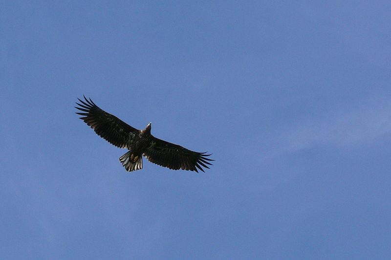 File:Seeadler (Haliaeetus albicilla).JPG