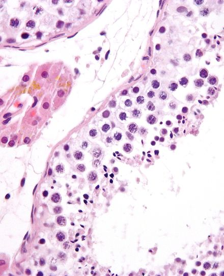Espermatogénesis - Wikiwand