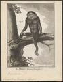Semnopithecus nemaeus - 1700-1880 - Print - Iconographia Zoologica - Special Collections University of Amsterdam - UBA01 IZ19900031.tif