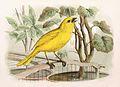 Serinus canaria 1869.jpg