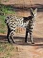 Serval (3075353919).jpg