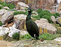Shag with chick, Staple Island - geograph.org.uk - 1378064.jpg