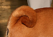 Shar Pei have a thick, curled tail
