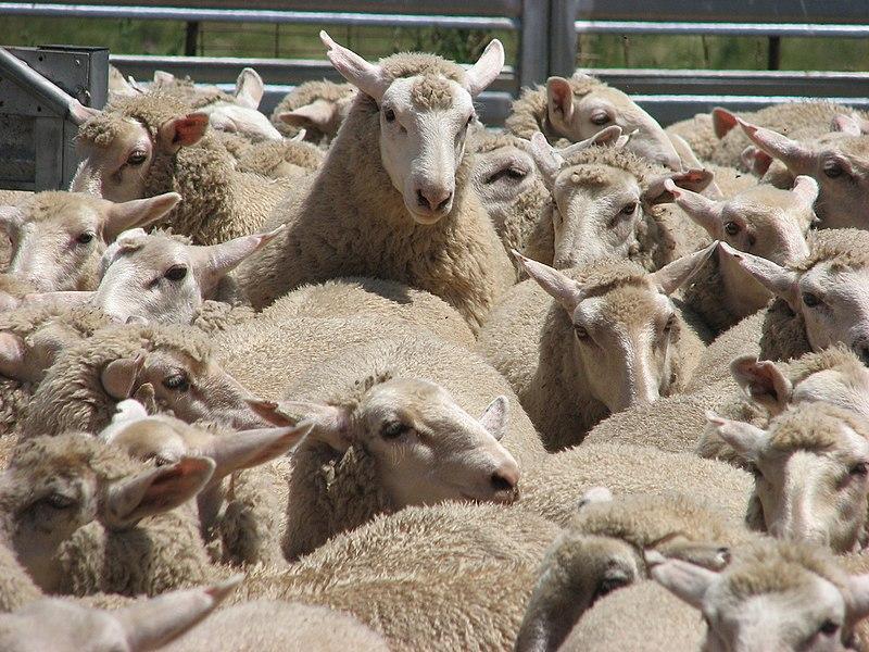 Fichier:Sheep mustering.jpg