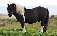 Shetland pony (2).jpg