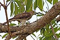 Shikra (Accipiter badius)Juvenile (23469964996).jpg