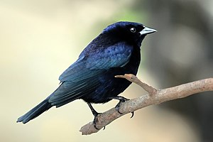 Shiny cowbird - Male The Pantanal, Brazil