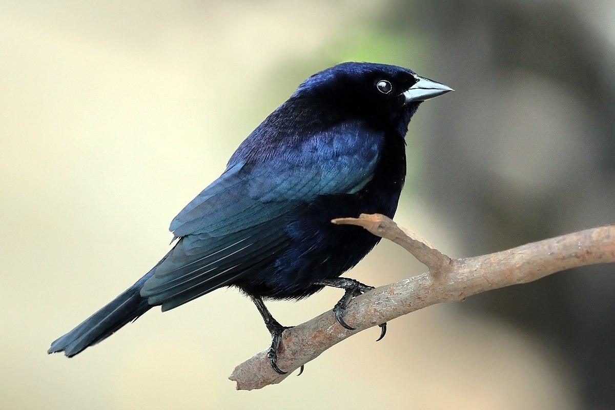 Shiny cowbird - Wikipedia