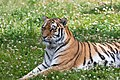 Siberian Tiger Image.jpg