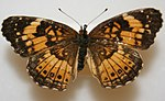 Silvery Checkerspot Megan McCarty28.jpg
