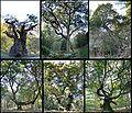 Six-named-oaks-savernake.jpg