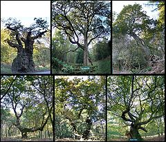 Six of Savernake Forest's historic oak trees: Top row: Big Bellied Oak; New Queen Oak; Queen Oak. Bottom row: Saddle Oak 1; Saddle Oak 2; Spider Oak.