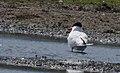 Skräntärna Caspian Tern (19728581924).jpg