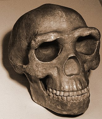 Sagittal keel - Cast of the Peking man skull, showing the keel continuing onto the frontal bone