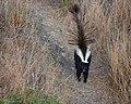 Skunk Encounter (50079132146).jpg
