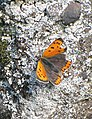 Small copper with damaged wings - geograph.org.uk - 1338744.jpg