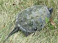 Snapping Turtle, Chelydra serpentina - Flickr - GregTheBusker (1).jpg