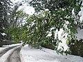 Snow laden branches at Duck Bay, Loch Lomond. - geograph.org.uk - 136789.jpg