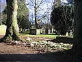Snowdrops, St Nicholas churchyard - geograph.org.uk - 673458.jpg