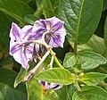 Solanum muricatum (2).jpg