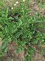 Solanum physalifolium 2 RF.jpg