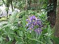 Solanum seaforthianum-yercaud-salem-India.JPG