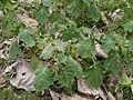 Solanum viarum (5598110410).jpg