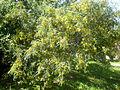 Sophora cassioides 1c.JPG