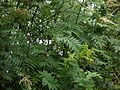 Sorbaria tomentosa (7789388096).jpg